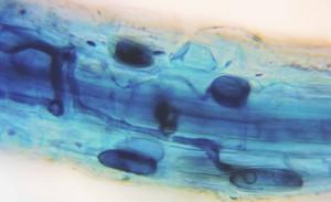 Elm-mycorrhiza-4