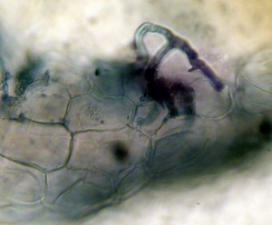 AM-hyphae in turf roots