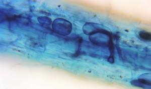 Elm-mycorrhiza-5